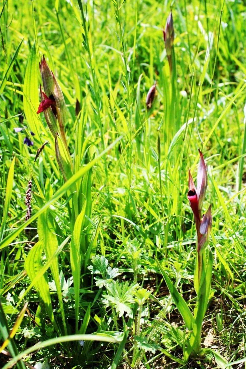orchidée sauvage, fabas, comminges pyrénées