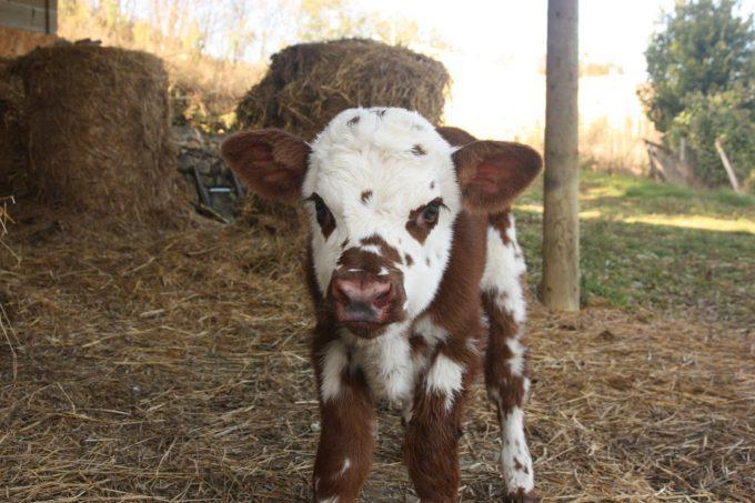 Ferme-de-l-Omiere-Bouzin-vache