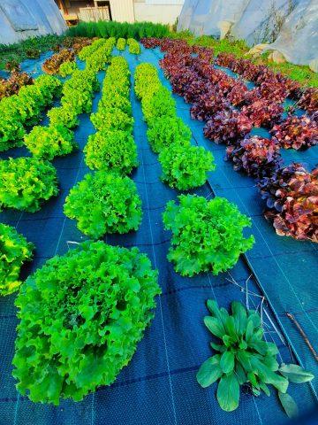 Ferme-des-cabanettes-anan-legumes2