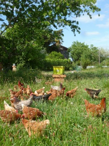 Les-jardins-du-Flouran–poules