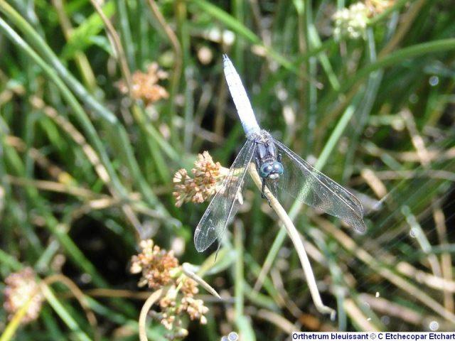 Orthetrum-bleuissant—C-Etchecopar-Etchart